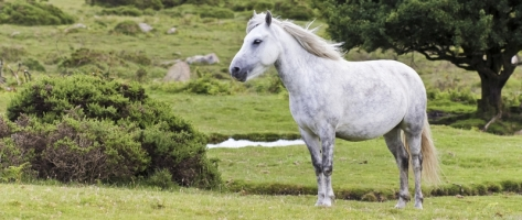 Slaughter Plan Proposed for the Rare Dartmoor Pony