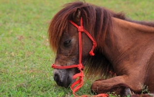 The Dwarfism Gene When Breeding Miniature Horses