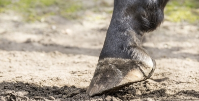 Winter Hoof Cracks and Care