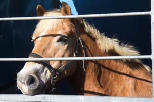 Transport of Live Horses For Slaughter