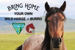 BLM Mustang Adoption Incentive Will Pay You $1000