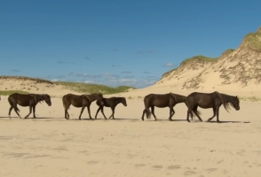 Wild and Free Sable Island Ponies