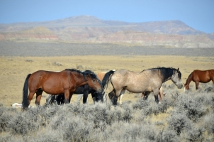 BLM Wild Horse Management in Question