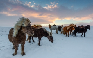 When an Icelandic Horse leaves Iceland it can never return