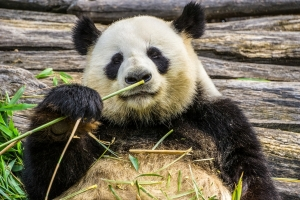 Panda Uses Horse Manure to Stay Warm