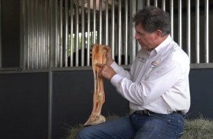 Horse Cadaver Leg Video How Joint Structure Works