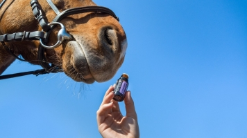 Equine CBD Oil for Pain Inflammation and Digestive Problems